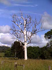 toter Eukalyptusbaum  Nimbin NSW Australien gumtree3at